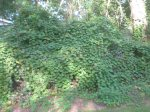 Vines in my back yard.  Yes, there are shrubs under there. (We did finally cut them back.)